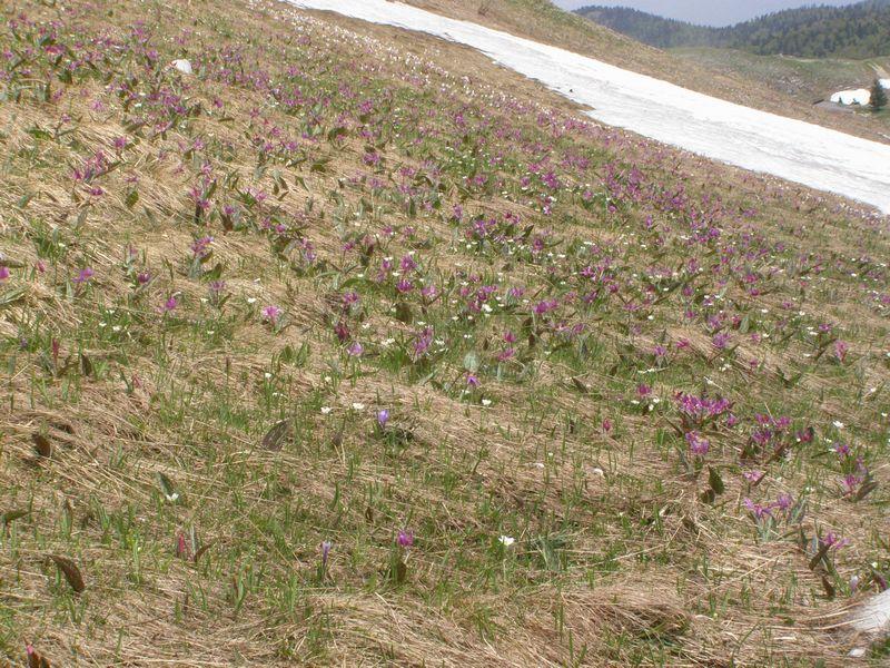 La chasse aux orchidées est ouverte dans la Drôme! Dent